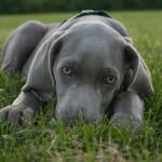 Perro de la raza Braco de Weimar de color gris plata