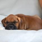Cachorro de bóxer color café de tres meses