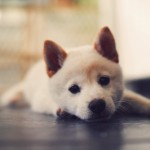 Cachorro de akita japonés de un mes