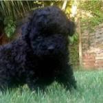 Caniche mediano cachorro de color negro