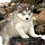 Cachorro de alaskan malamute