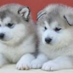 Cachorros blancos de la raza de perro malamute de Alaska