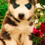 Husky Siberiano de 3 meses