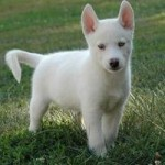 Bebé Husky Siberiano blanco