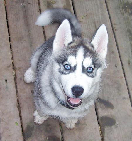 Cachorro Husky Siberiano gris   Mundo Perro
