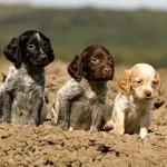 Colores de cachorros de Spaniel Bretón