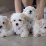Perros cachorros de Bichón maltés