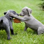 Cachorros de Braco de Weimar jugando