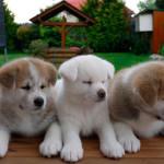 Cachorros de Akita japonés
