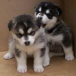 Cachorros de malamute de alaska de dos meses
