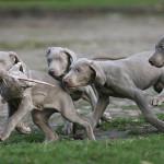 Cachorros de Weimaraner cazando