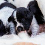 Por qué los cachorros nacen muertos en el parto