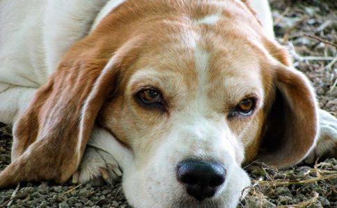 ¿Se puede castrar a un perro anciano?
