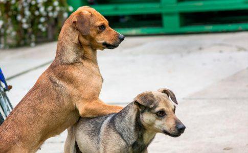 Ventajas e inconvenientes de castrar a un perro dominante