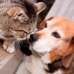 Síntomas del celo en perros y gatos