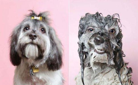 Peinar al perro o bañarlo primero.
