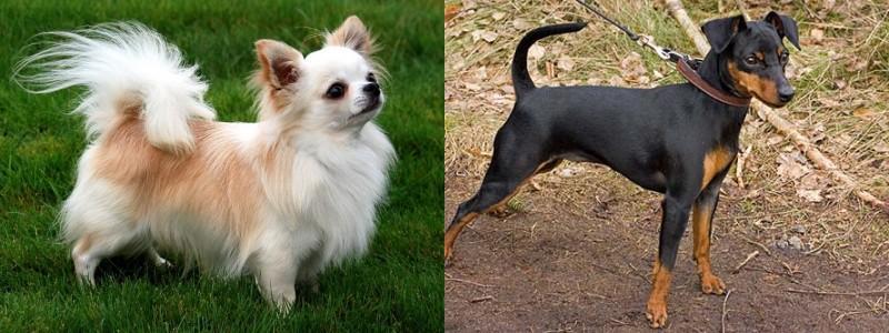 Chihuahua Vs Pinscher Enano Diferencias Entre Chihuahua Y Pinscher