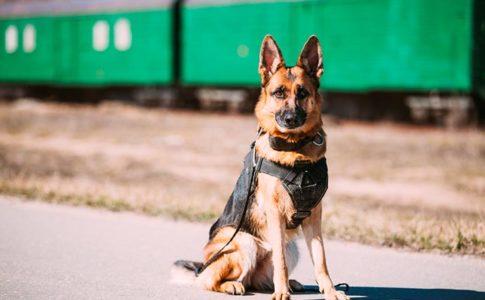 Qué necesito para adoptar a un perro policía