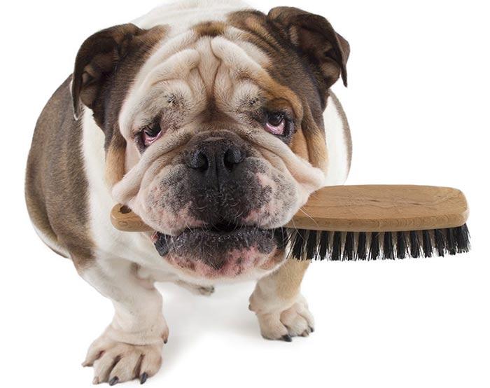 Cepillado de perros de pelo corto