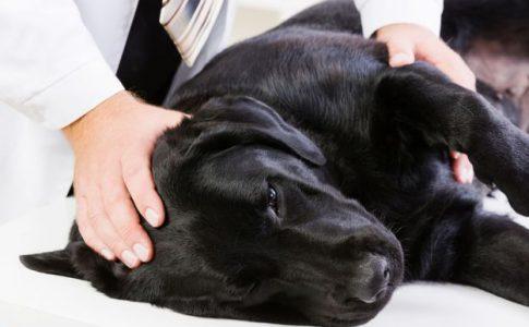 Artrosis en los perros ancianos