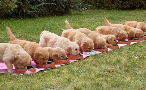 Destete de los cachorros