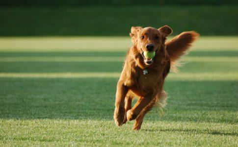 Cómo enseñar al perro a traer la pelota