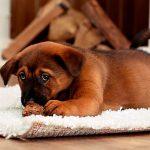 Qué hacer para que el perro recién nacido no coma sus caca