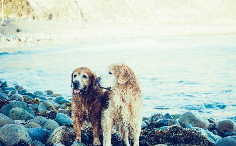 El ciclo de apareamiento del perro