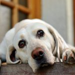 Tratamiento para la ansiedad de los perros