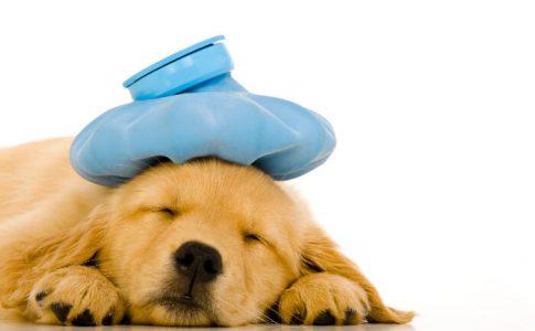 Síntomas de fiebre en los cachorros de perro