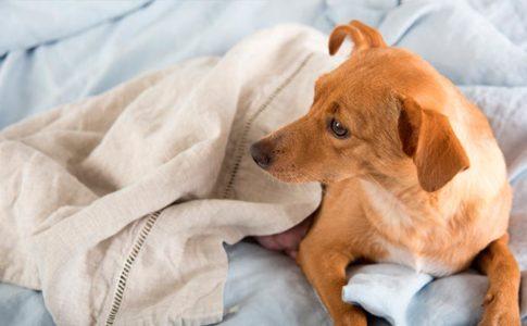 Síntomas del embarazo en el perro