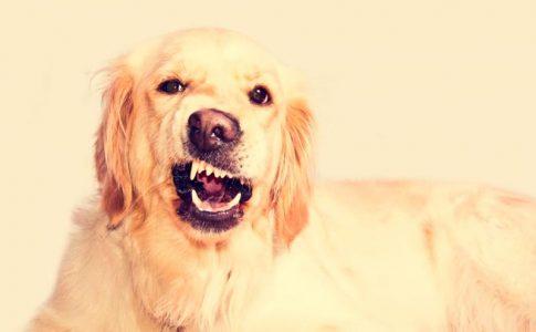 Cómo diferenciar si mi perro ladra o llora