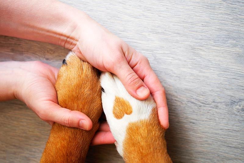 Sarna En Perros Se Contagia A Humanos