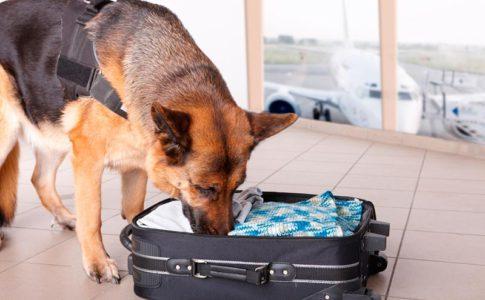 Adiestramiento de perros detectores de drogas