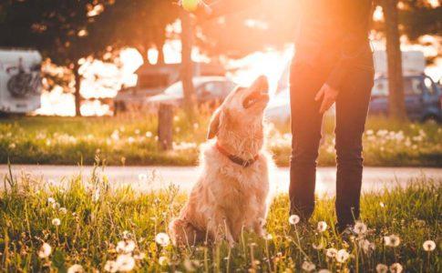 Adiestrar a un perro de tamaño grande