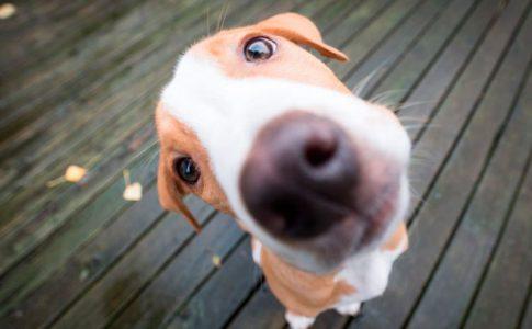 Curiosidades caninas