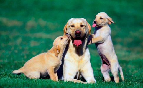 Síntomas de una perra antes del parto