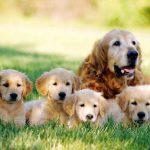 ¿Cuándo puede volver a tener relaciones una perra después del parto?