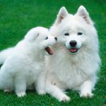 ¿Cuándo vuelve a estar en celo un perra tras el parto?
