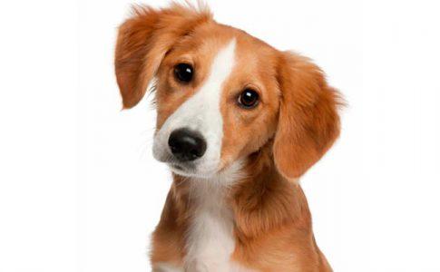 ¿Cuánto puede llegar a medir un perro mestizo?