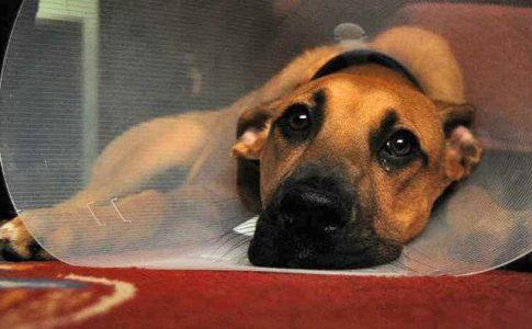 Cómo cuidar a una perra esterilizada