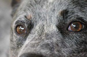 Cuidados para un perro sénior