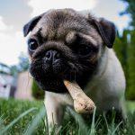 ¿Es mejor desparasitar a un perro después de comer?