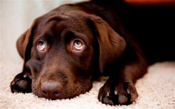 Curar diarrea en perros