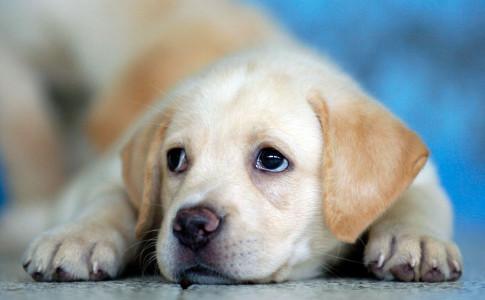 Enfermedad de perros displasia de codo