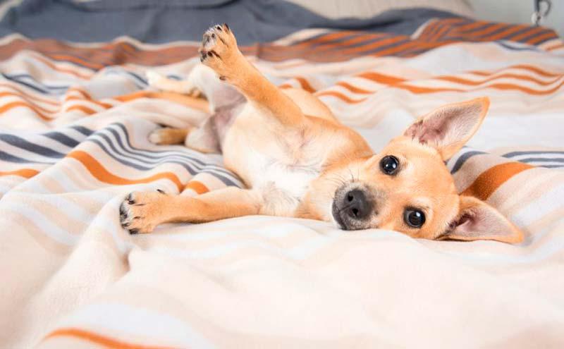 Castrar a un perro le afecta a los testículos? | Castración canina ...