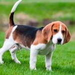 Beagle vs Westy