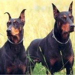 Doberman vs Bóxer