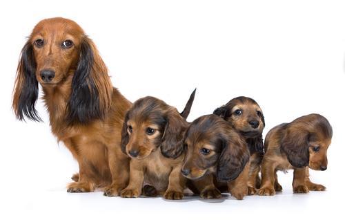embarazo-perro