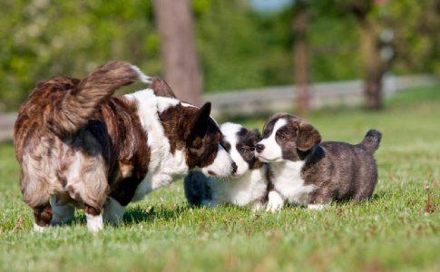 Fiebre en los perros tras el parto